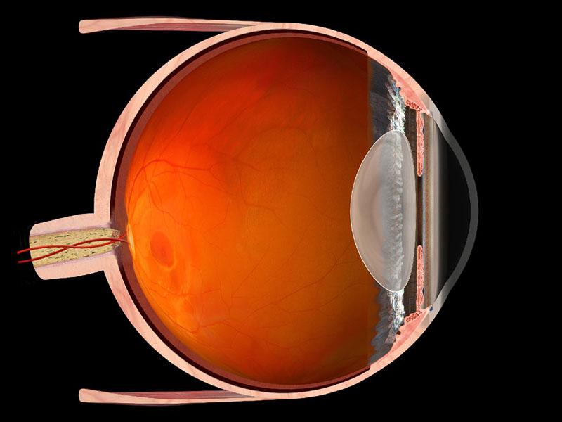 3D Modell Laengsschnitt gesundes Auge